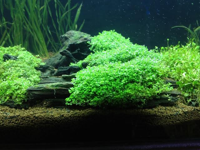 43 Best Images About Aquarium Plants On Pinterest