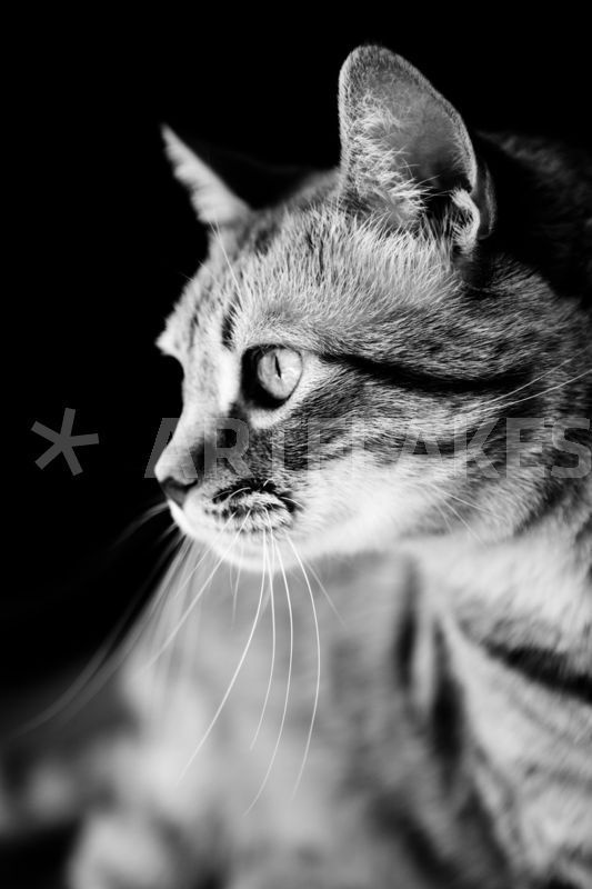 """Cat Waiting The Right Moment"" Fotografie als Poster und Kunstdruck von Marc Garrido Clotet bestellen. - ARTFLAKES.COM"