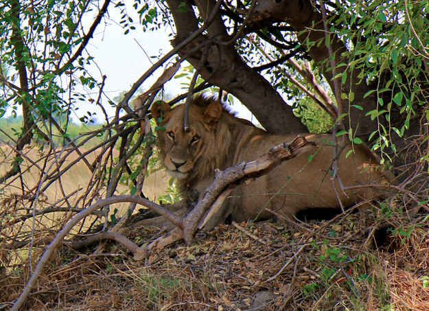 And BOOM. There's a lion sitting in the shade. Relaxing. | Reminder: Why Killing A Lion Is The Most Cowardly Thing You Can Do