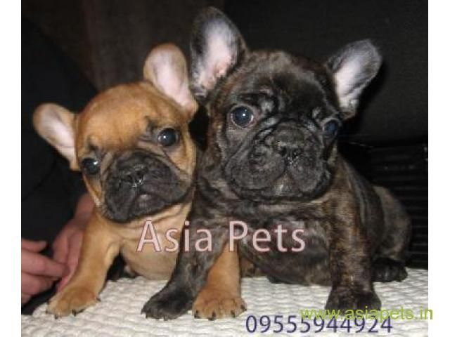 French Bulldog Pups For Sale In Madurai On French Bulldog Breeders