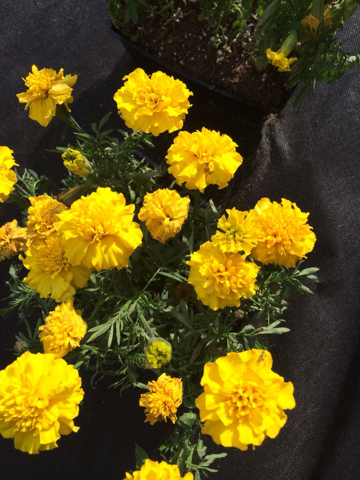 i love the smell of marigolds so much man.... so many childhood memories attached to that scent.