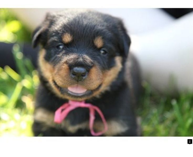 Pin On New Rottweiler Puppies