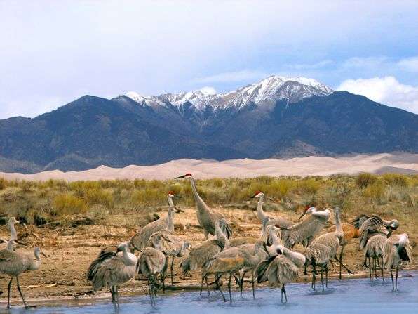 Great Sand Dunes National Park - south-central Colorado, USA - During spring and fall migration, thousands of sandhill cranes drop in on the park's San Luis Valley. - Credit: Colorado Tourism   GORP.com