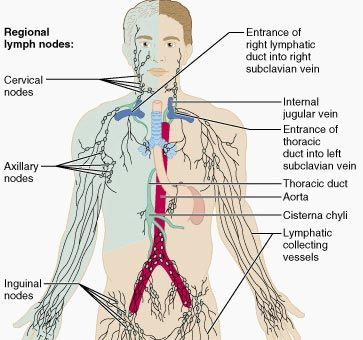 thoracic duct, regional lymph nodes, and related structures