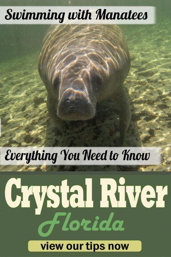 Snorkeling With The Gentle Giants At Chrystal River Must Be On Your Bucket List During Winter Time The Manatees Manatee Swimming With Manatees Manatee Florida