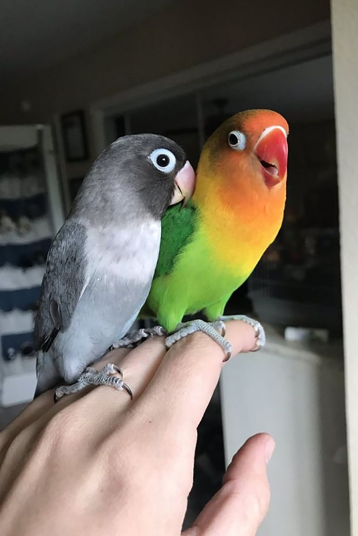 Parrot Love Story Meet Kiwi And His Goth Wife Siouxsie