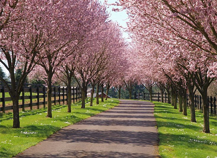 Lining a long driveway with trees is a popular option for country estates and farm houses. This picture is of Cherry trees along a driveway. The fence adds even more country charm.