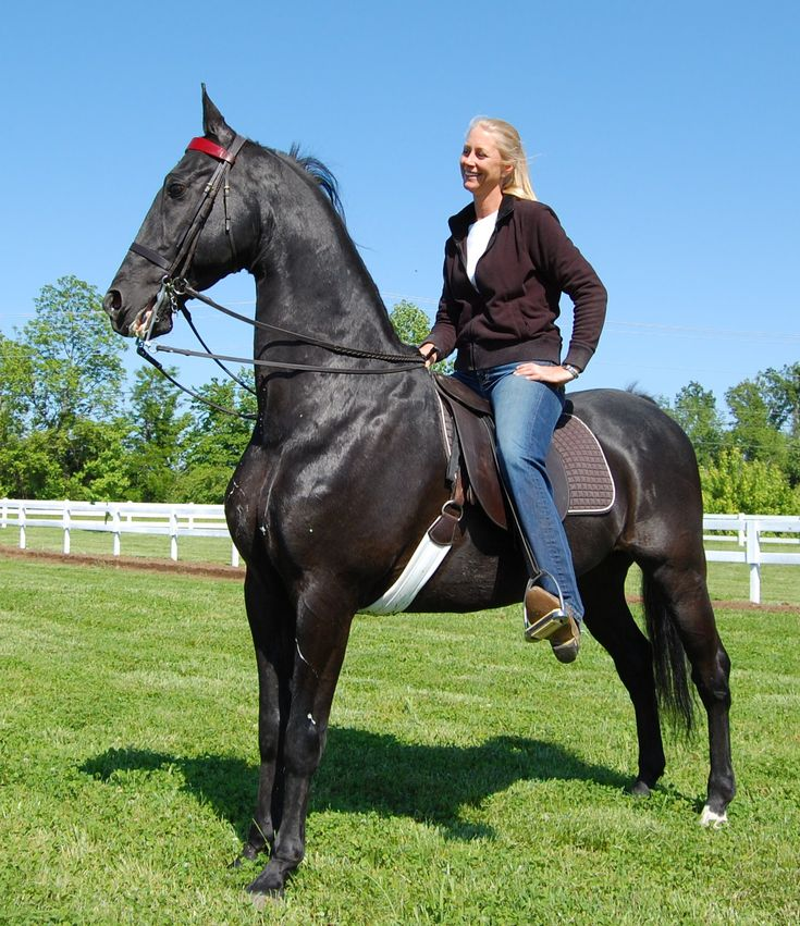 American Saddlebred | ... American Saddlebreds saddlebred for sale show horses saddlebred