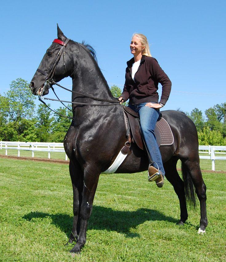 American Saddlebred | ... American Saddlebreds saddlebred for sale show horses saddlebred