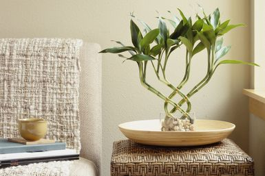 Bamboo plant on table next to sofa - ML Harris/The Image Bank/Getty Images  http://houseplants.about.com/od/typesofhouseplants/a/LuckyBamboo.htm
