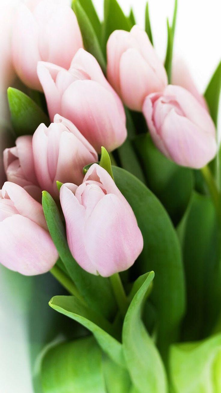 имеет нежные тюльпаны картинки на телефон мама папа, семье