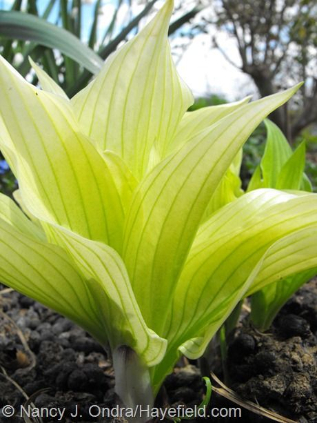 Hosta 'Mostly Ghostly'