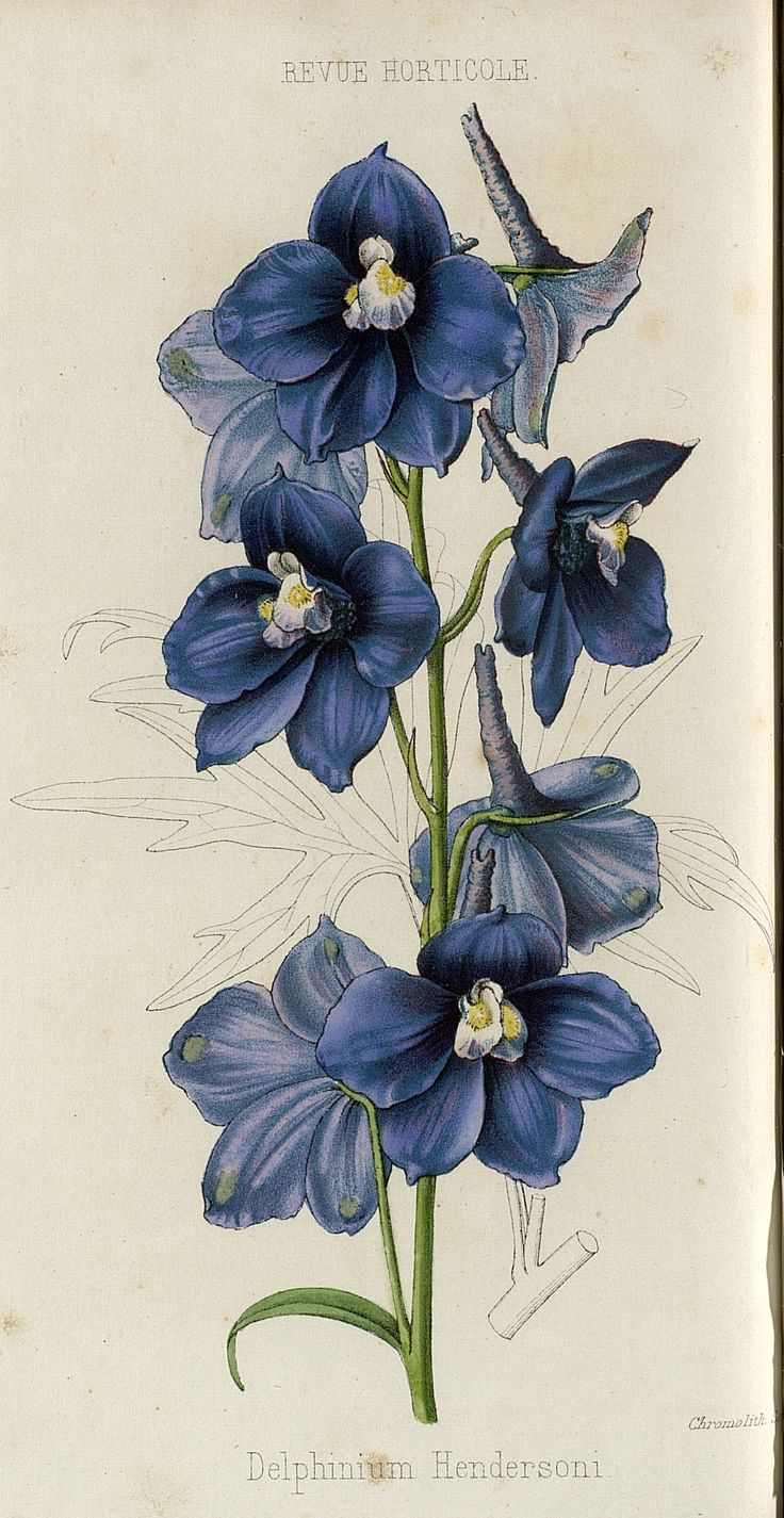 Delphinium hendersoni illustrations pinterest for Botanic fleurs artificielles
