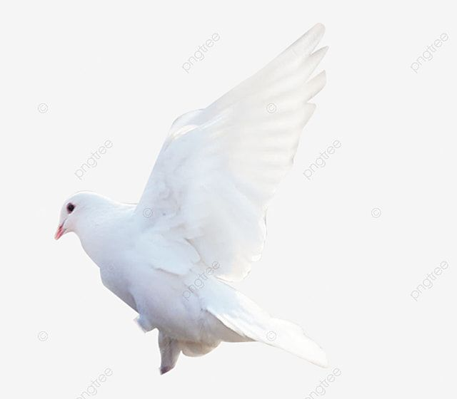 Dove Of Peace Pigeon Peace Dove Png Transparent Image And Clipart For Free Download World Peace Day Photo Frame Gallery Clip Art