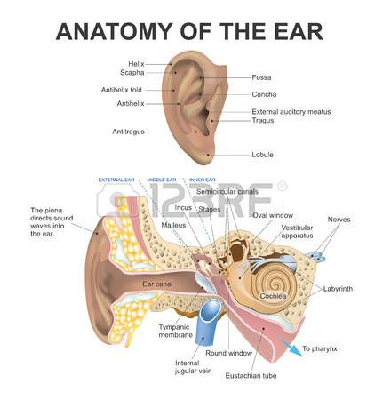 The human ear consists of three parts the outer ear, middle ear and inner ear. The ear canal of the outer ear is separated from the air filled tympanic cavity of the middle ear by the eardrum. The middle ear contains the three small bones the ossicles inv