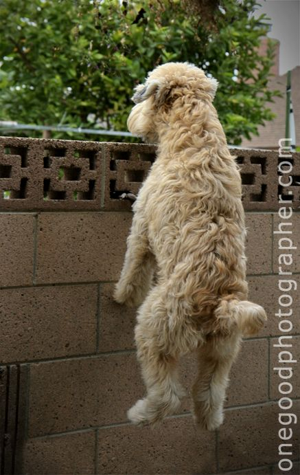 This is no joke...the wheaten greetin' is exactly as pictured. Wheaten Terrier