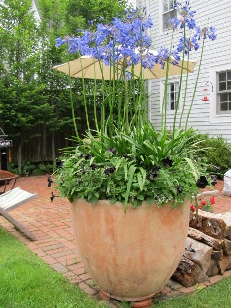 What could make a better focal point than a huge pot crammed with Agapanthus? I would use Agapanthus africanus because it's an evergreen perennial with good, strappy leaves.