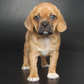 New breeds - Puggle  Pug + Beagle