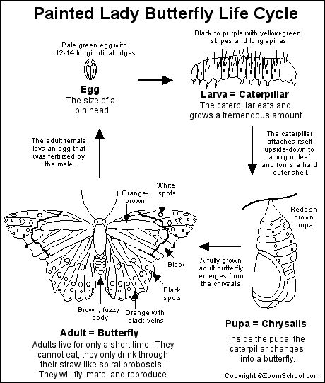 Painted lady butterfly diagram - photo#3
