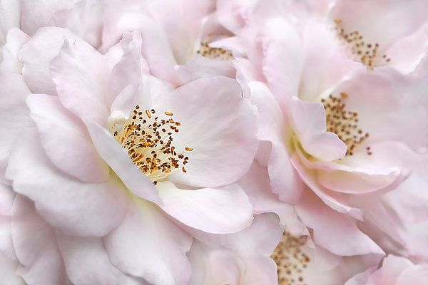 Beautiful pastel pink Rose flowers photography art for your home or office decor.  Photography by Jennie Marie Schell.