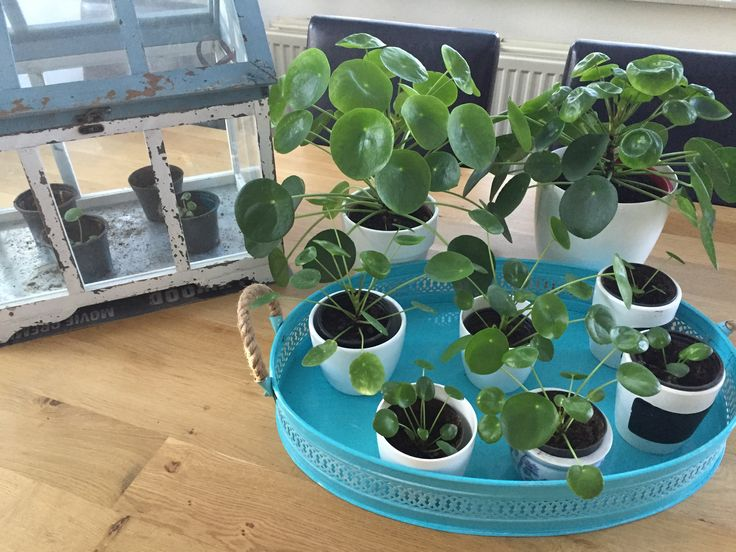 197 best images about pannenkoekenplant pilea peperomioides on pinterest inredning van and. Black Bedroom Furniture Sets. Home Design Ideas
