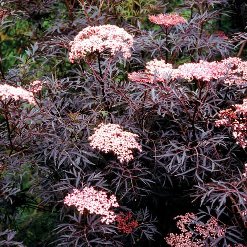 The Dark Purple Foliage Of Black Lace Is Perpetually Fabulous But Looks Even