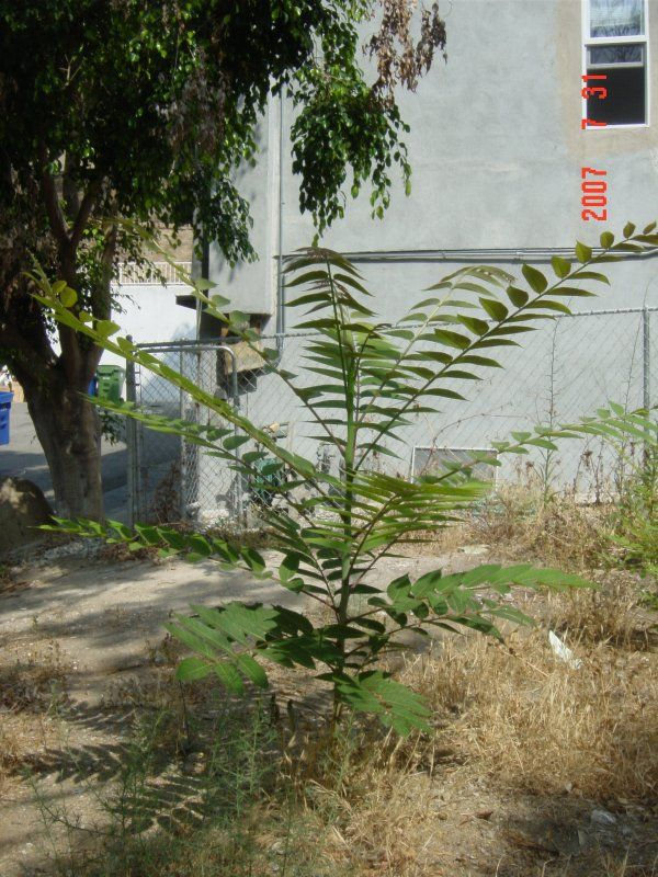 "Advice for removing Tree of Heaven ""Weed Tree"""