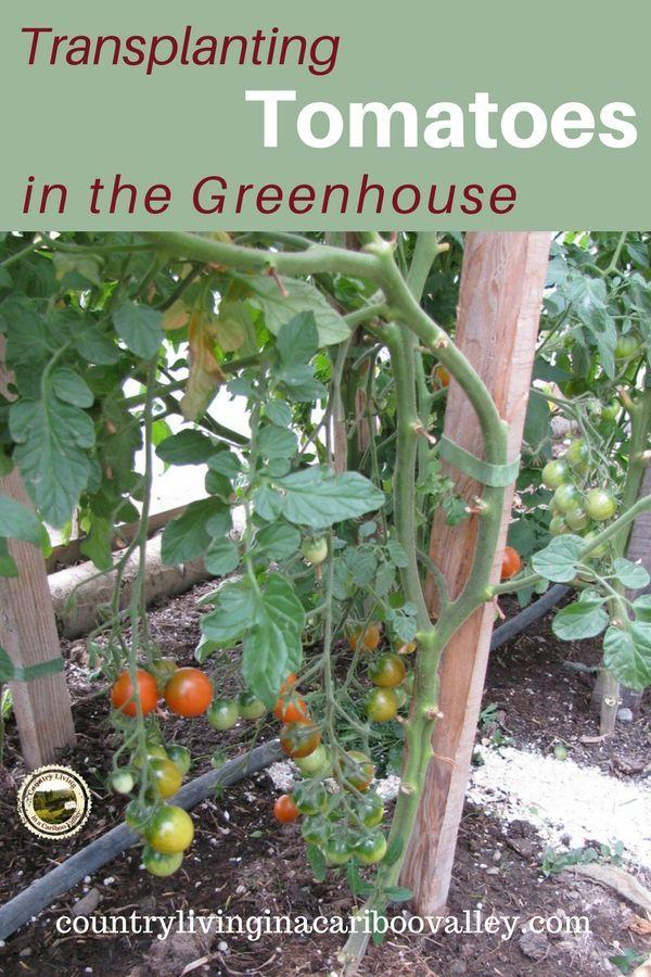 Transplanting Tomatoes Into The Greenhouse Tomato Garden