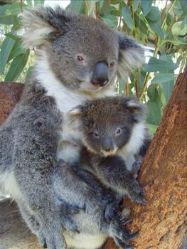 Caversham Wildlife Park Meet The Koalas Perth Australia