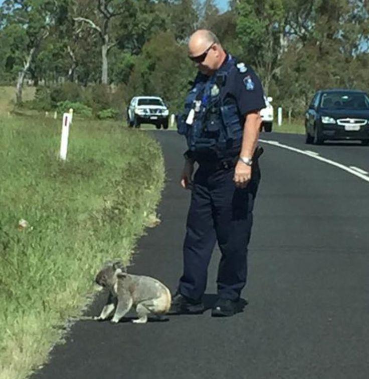 Adorable Koala Causes Traffic Jam on Australian Highway: Watch