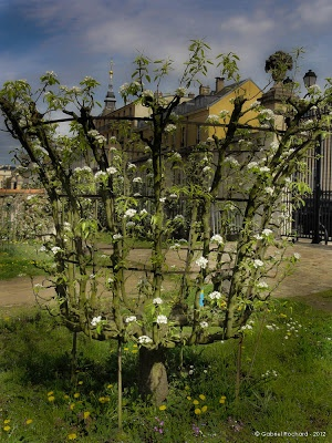 77 best ideas about espalier fruit tree training methods. Black Bedroom Furniture Sets. Home Design Ideas