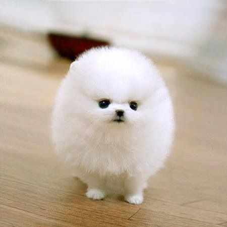 Amazing Fluff Ball Adorable Dog - cc296fa8583282e890bb0a1a10bb6473--tiny-puppies-cute-puppies  Gallery_623848  .jpg