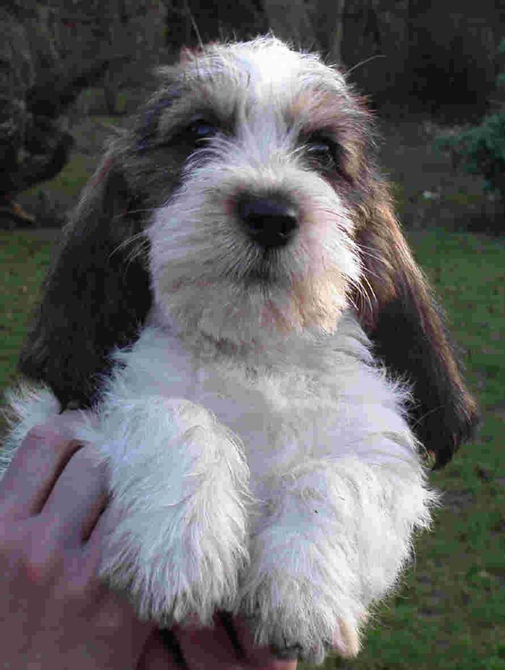 petit basset griffon vendeen | Petit basset griffon vendeen puppy. Breeder: Monkhams kennel, UK. He ...
