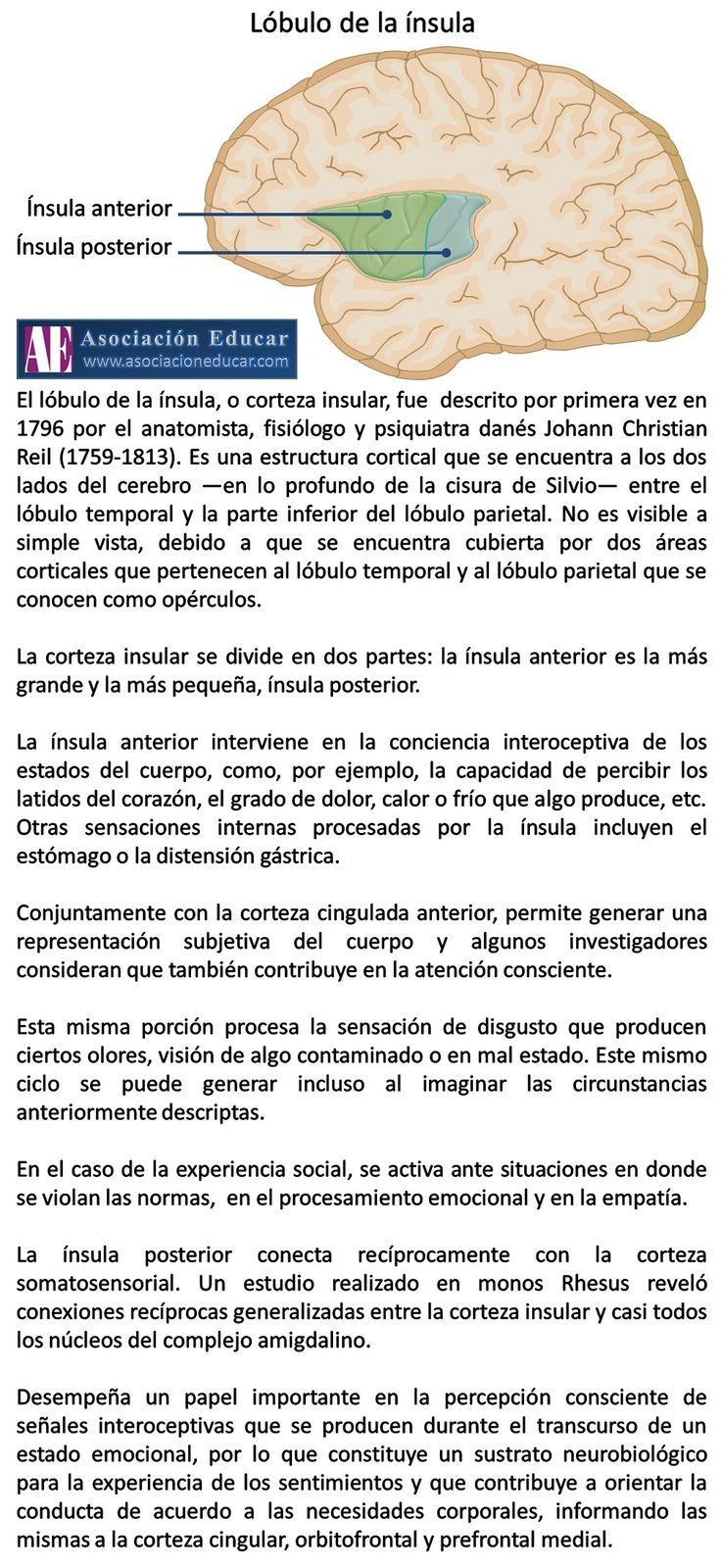Lóbulo ínsula. - Asociación Educar - Ciencias y Neurociencias aplicadas al Desarrollo Humano - www.asociacioneducar.com