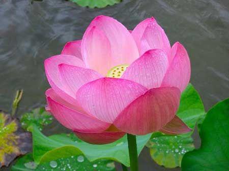 Uma das mais belas flores da natureza! #iloveflores Veja mais: http://iloveflores.com/significado-de-flor-de-lotus-roxa-vermelha-rosa-azul/