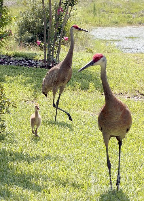 Sandhill Crane parents and a chick.  -  More Crane Photos + Videos and Crane Viewing Tips on the Sandhill Crane Migration with Info Links at --  www.SandhillCraneMigration.com