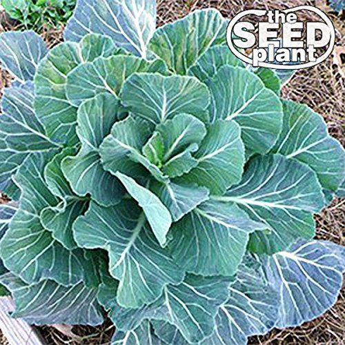 Georgia Southern Collard Green Seeds  500 SEEDS NONGMO *** For more information, visit image link. (This is an affiliate link) #PlantsSeedsBulbs