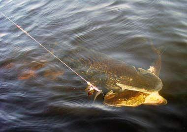 Как поймать крупную щуку (5 практических советов) | Советы рыболовам, секреты и хитрости удачной рыбалки! | щуки, приманки, длиной, время, круп� - Советы рыболовам, секреты и хитрости удачной рыбалки!