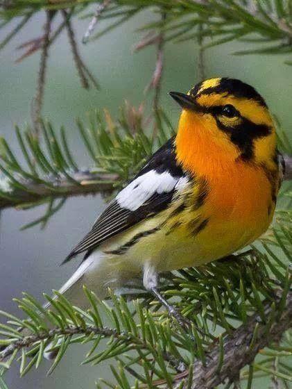 Sv Orangestrupig skogssångare. Blackburnian Warbler (Parulidae: Setophaga fusca), North America
