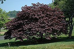Eastern Redbud-Cercis canadensis Beautiful purple leaves and bright pink flowers in spring. Prefers full shade.