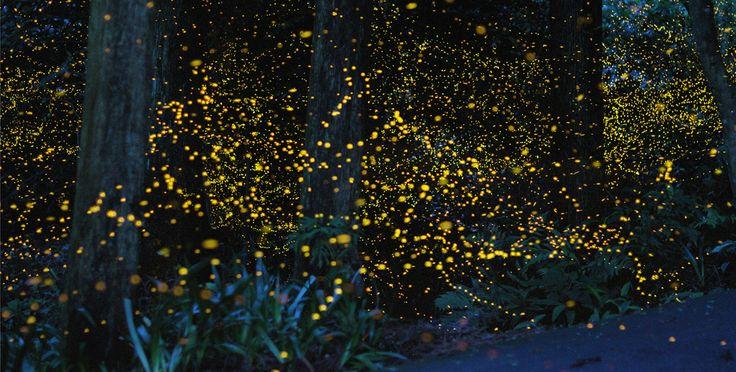 fireflies, Tsuneaki Hiramatsu