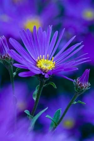 Aster amellus 'Veilchenkonigin'. Height: 50cm (20in) Spacing: 40cm (16in) apart. Hardiness: Fully hardy Care tips: Cut back in late Autumn. Pinch in midsumer to encourage a great flowering season. Flowers: ❀ July - October
