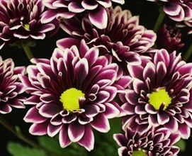 Dark Orinoco - Spray (Pompoms) - Chrysanthemum - Flowers by category | Sierra Flower Finder
