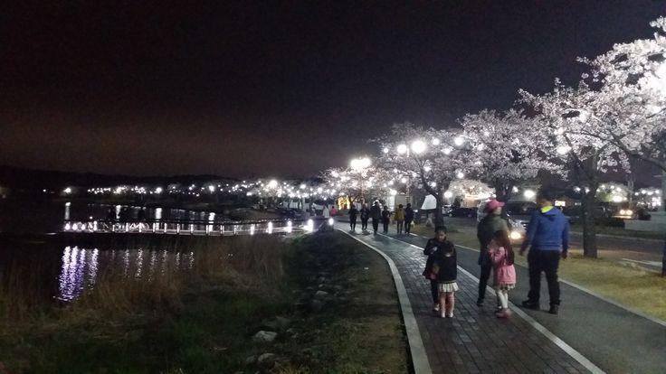 2015년 강릉 경포벚꽃잔치 야경