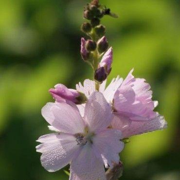 Malvakruid Griekse malva (Sidalcea 'Elsie Heugh') juli, augustus, september. 80 cm. is een vaste plant met grote satijnen bloemen. Blootstelling aan halfschaduw. Lichte bodem humus zonder al te veel kalk. Op zijn minst tot -15 ° C. Bladverliezende, zomer belang, een snijbloem.