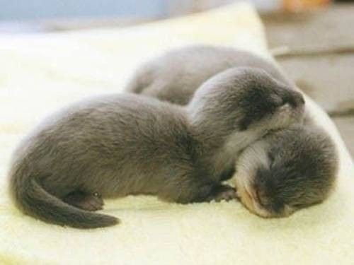 Sleeping baby otters. To keep from drifting apart sea otters hold hands (paws) while they sleep. Cutest thing ever!