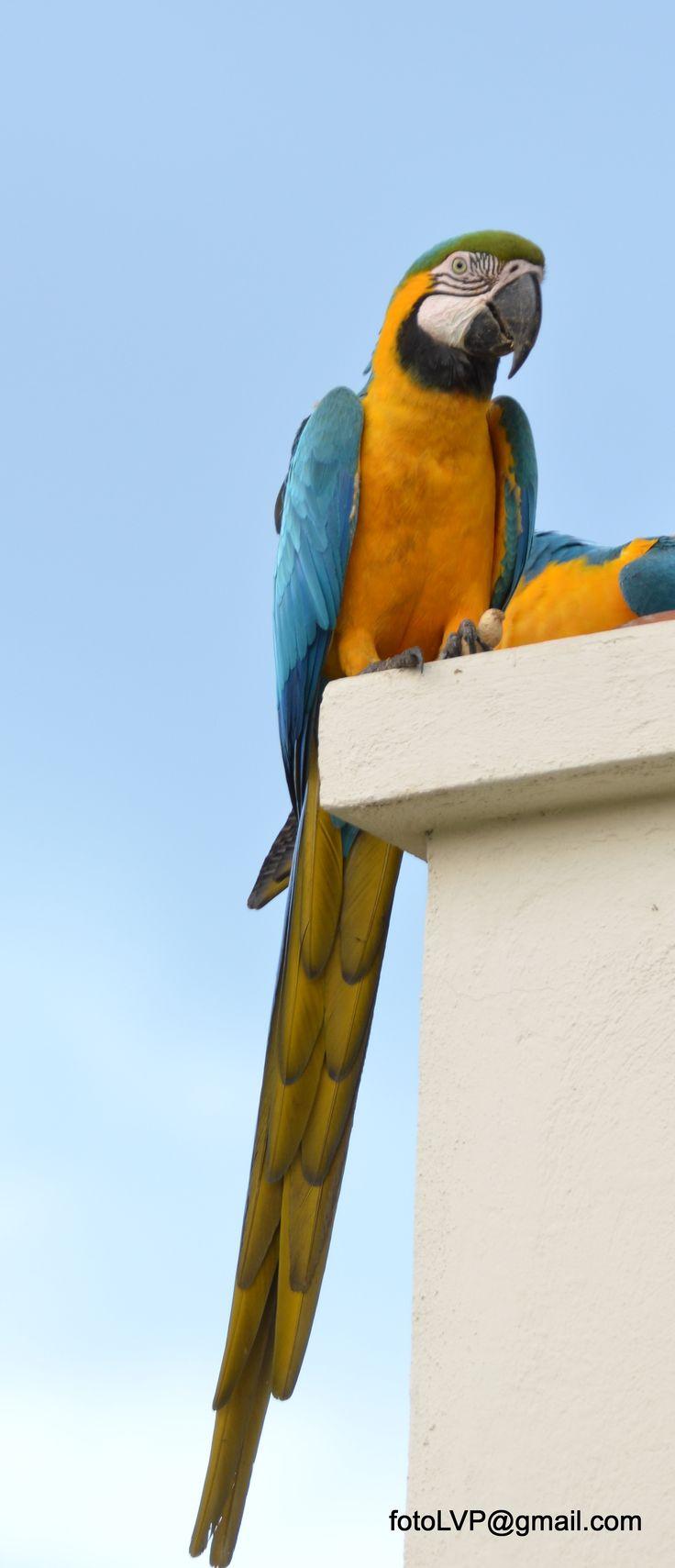Ara araurana Guacamaya Azul y Amarilla Blue-and-yellow Macaw