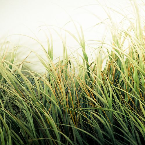 incubi:        Beach Grass Texture (by ►CubaGallery)    (via meanderingwind)