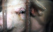 Horrifying mass animal slaughter in Nepal | Compassion in World Farming