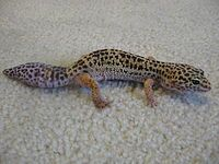 200px-Leopard_gecko_with_new_tail